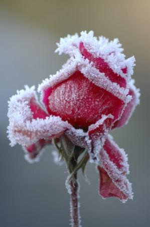 winter_roses_m2